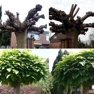 Baumschnitt anhand einer Catalpa (Trompetenbaum) nach dem Schnitt im Herbst und nach dem ersten Austrieb im nachfolgenden Frühjahr