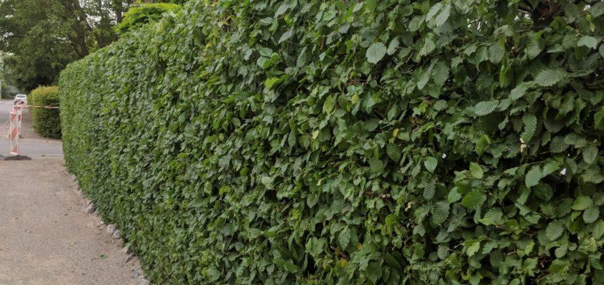 Hausmeisterservice – Gartenpflege – Heckenschnitt-Pflegeschnitt-Formschnitt-Buchenhecke