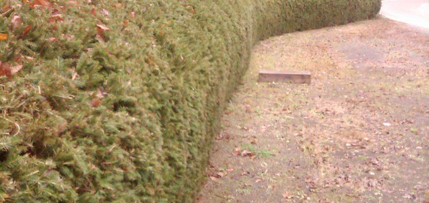 Gartenpflege- Heckenschnitt – Heckenformschnitt – Fichtenhecke schneiden