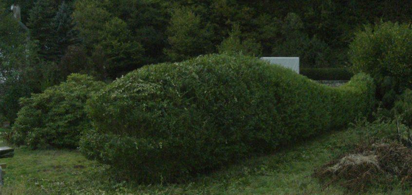 Gartenpflege – Heckenschnitt – Liguster Hecke als Motiv – Forelle geschnitten