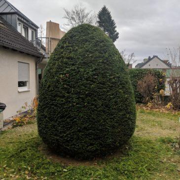 Hausmeisterservice – Gartenpflege – Koniferenschnitt –Formschnitt – Pflegeschnitt II – Die Eiform