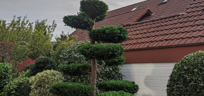 Hausmeisterservice – Gartenpflege – Koniferenschnitt –Formschnitt – Pflegeschnitt VI – Induviduelle Formgebung Konifere Lebensbaum
