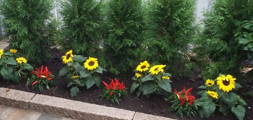 Hausmeisterservice – Gartenpflege – Gestaltung Vorgarten I mit Koniferen Paprika Sonnenblumen