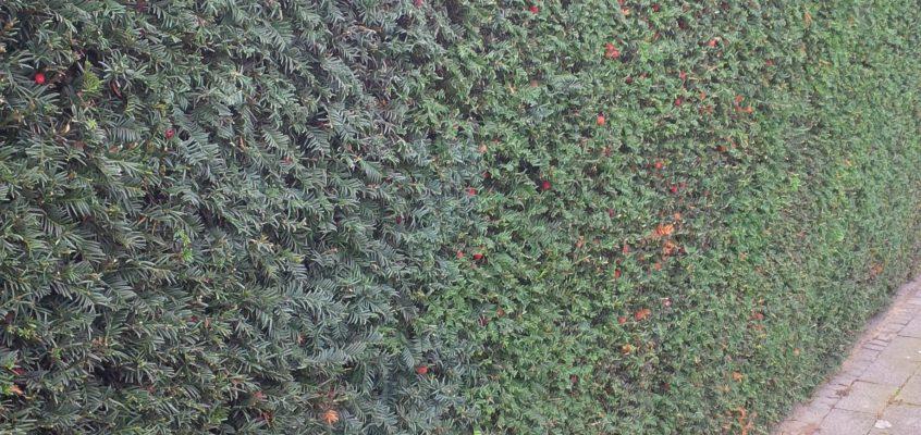 Gartenpflege – Heckenschnitt – Formschnitt – Pflegeschnitt