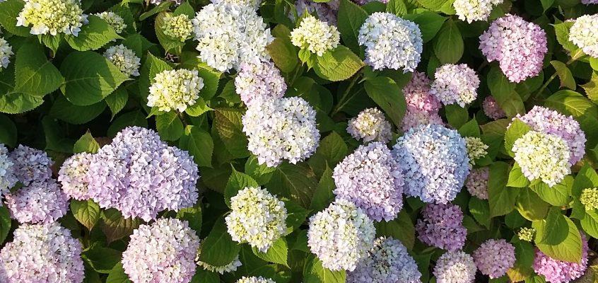Gartenpflege – Hortensien richtig pflegen und schneiden