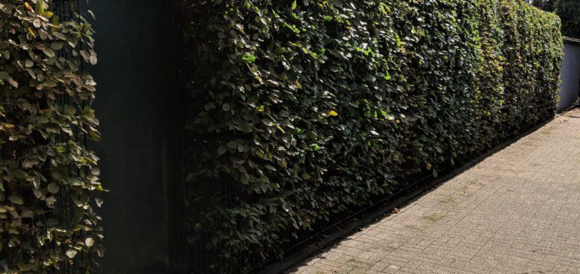 Hausmeisterservice – Gartenpflege – Heckenschnitt-Pflegeschnitt-Formschnitt-einer hohen Buchenhecke 2,50 mtr.