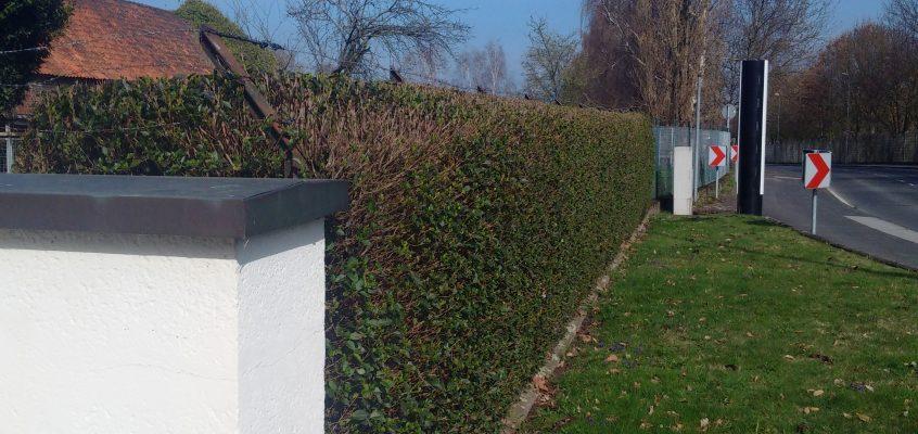 Gartenpflege – Heckenschnitt – Formschnitt / Pflegeschnitt einer Ligusterhecke