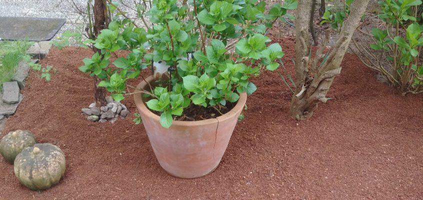 Gartenpflege – Mulchen mit Pinienmulch nach Unkrautentfernung der Beetfläche