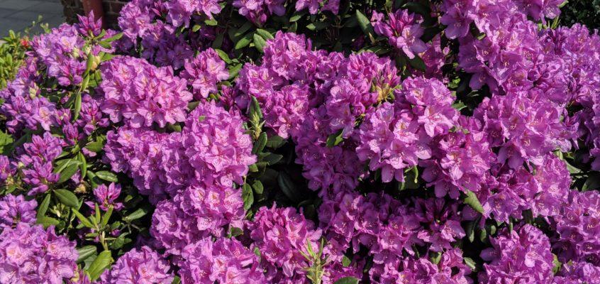 Hausmeisterservice – Gartenpflege – Entrümpelung – Rhododendron richtig düngen